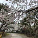 函館公園お花見