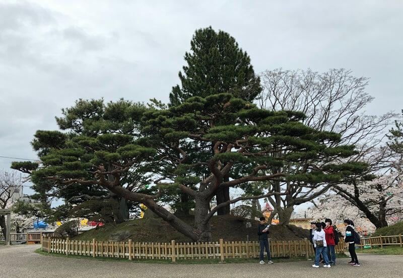 函館公園高田屋の松